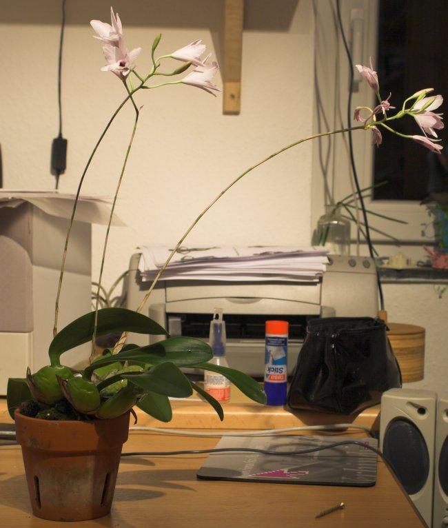 was f r eine orchidee hab ich da laelia. Black Bedroom Furniture Sets. Home Design Ideas